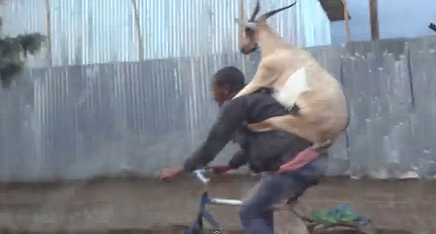 goat hitching a ride